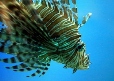 lionfish fort pierce (1)